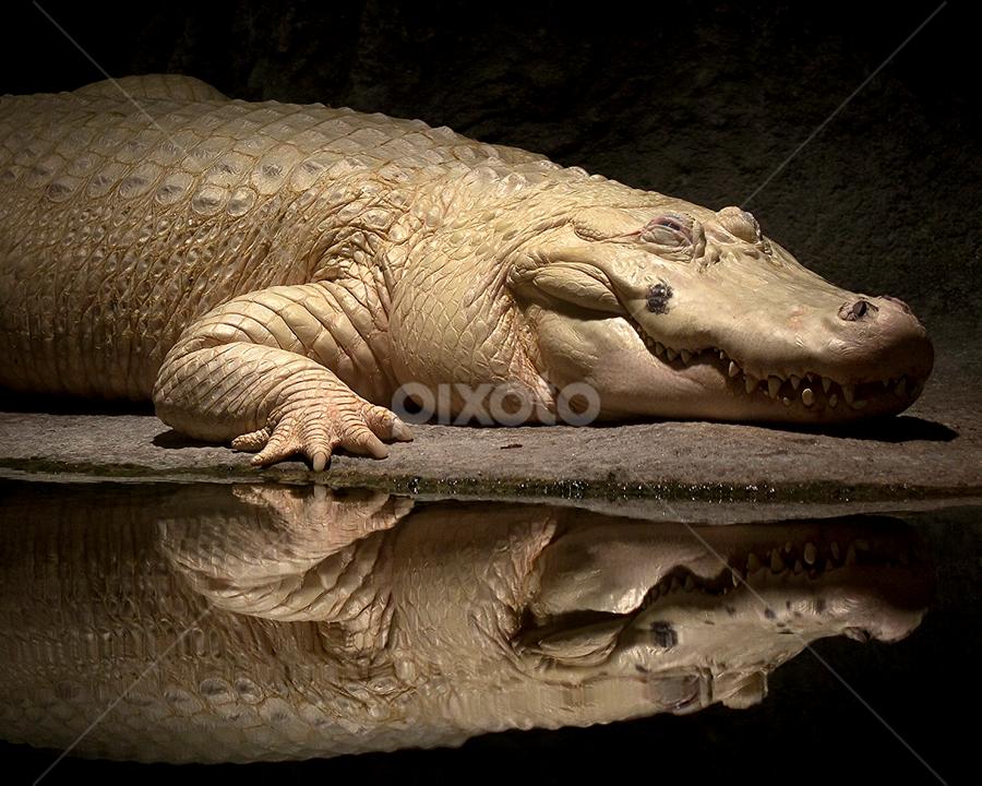 White Alligator by Brook Kornegay - Animals Reptiles ( new orleans, reflection, zoo, white alligator, alligator, gator, reptile, animal, , #GARYFONGDRAMATICLIGHT, #WTFBOBDAVIS )