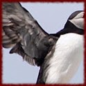 Puffins wallpapers icon