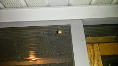 Photo: Massive Orb Weaver that kept skeeving everyone out..  until my brother took a makeshift blow torch to it. :/