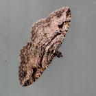 Bent-lined Carpet Moth