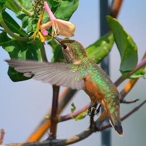 Hummie by Lyn Daniels - Animals Birds (  )