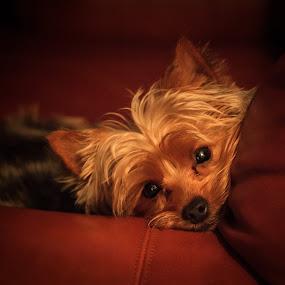 Little Dog by Bill Killillay - Animals - Dogs Portraits ( canon, dreamy, yorkie, loyalty, little dog, eyes )