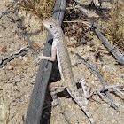 Western Zebra-tailed Lizard