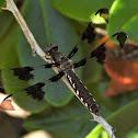 Common whitetail (female)