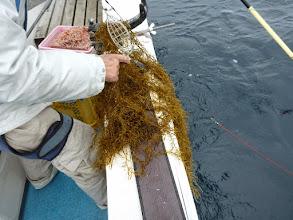Photo: ガックリ。 海面を流れていた「藻」でした。 ・・・最近、切れ藻が多くて。プロペラにもよく巻きつきます。