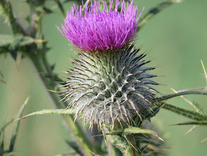 Photo: 8 Jul 13 Woodhouse Lane: The thistles are just about opening: this is likely a Spear Thistle (Cirsium vulgare) and very painful to sit on! (Ed Wilson)