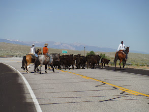 Photo: Day 19 Dubois to Riverton WY 79 miles 1410' climbing: Finally got them across while we stop traffic