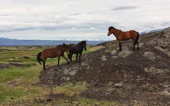 """Photo: Nieskażone """"zachodem"""". Po opuszczeniu Islandii nie mają już powrotu. Konie (ok 70 tyś.) - na równi z wodospadami stały punkt islandzkiego krajobrazu."""
