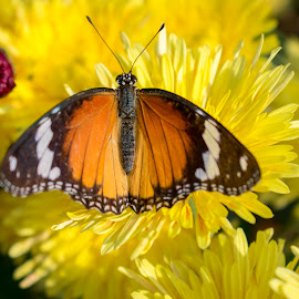 Butterfly on Guldaudi flower chrysanthemum by Basant Malviya - Animals Insects & Spiders ( chrysanthemum flower colors, picture of a chrysanthemum flower )
