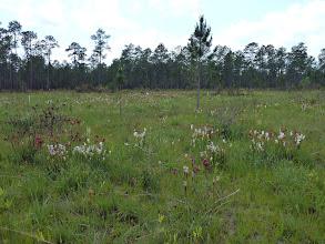 Photo: Sarracenia leucophylla and Drosera filiformis ssp tracyi at Splinter Hill Bog Preserve in Alabama.