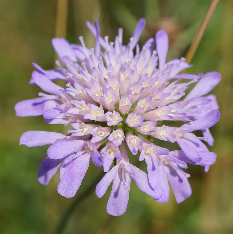 Paarsblauwe bloemhoofdjes met vier slippen, waarbij de randbloemen stralend zijn