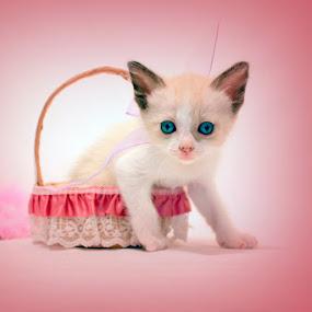 Pink nose by Nallely Martinez - Animals - Cats Portraits ( cat, kitten, blue, basket, pink )