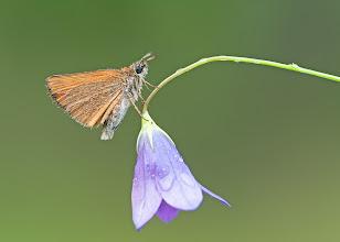 Photo: Hespérie de la houque, Small Skipper, Thymelicus sylvestris  http://lepidoptera-butterflies.blogspot.com/