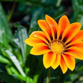 The Gazania or African Daisy by Judy Wright Lott - Flowers Single Flower ( gazania, annual, bellingham, nature, perennial, blooms, glen echo, african daisy, gardens, flowers, outside )