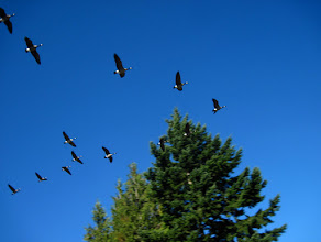 Photo: When you hear the honking you know to look up cautiously