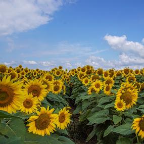 Field of Sunflowers by Joe Machuta - Flowers Flower Gardens
