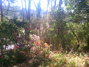 Photo: With the eucalypti gone, these native oaks would thrive.