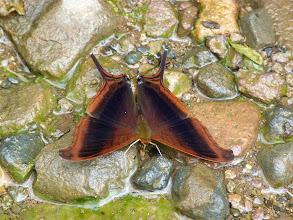 Photo: WAITER DAGGERWING--marpesia zerynthia--RIO CHALUAYACU, NAPO