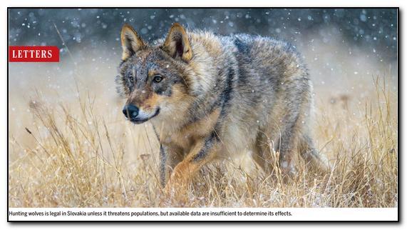 Článek o nepodloženosti rozhodnutí o lovu vlků na Slovensku vyšel v prestižním přírodovědném časopise Science