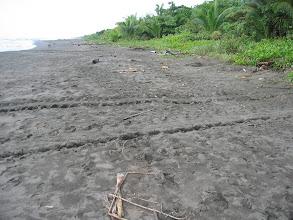 Photo: Sea turtle tracks