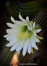 Photo: It's a beautiful morning!!  So much beauty in this world if we just remember to stop & look...:)  Saija Lehtonen Photography  #CactusFlower   #Floral   #Flowers   #Nature   #Photography   #Southwest