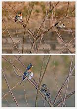 Photo: 撮影者:岡本 昭男 アトリ 日時 2015年1月16日午前9時 羽数 2羽(雌雄) 観察した場所 浅川、右岸、一番橋下流桜並木の前。 状況他 川の流れの近くの枯れ木に止まっていた。北風に向かっているときの白い胸が印象的だった。枝を移り、やがて下の草に降りて見えなくなった。 観察者 岡本昭子、岡本昭男。 区分  今季初認(この場所では始めて) メッシュ 武蔵府中1k
