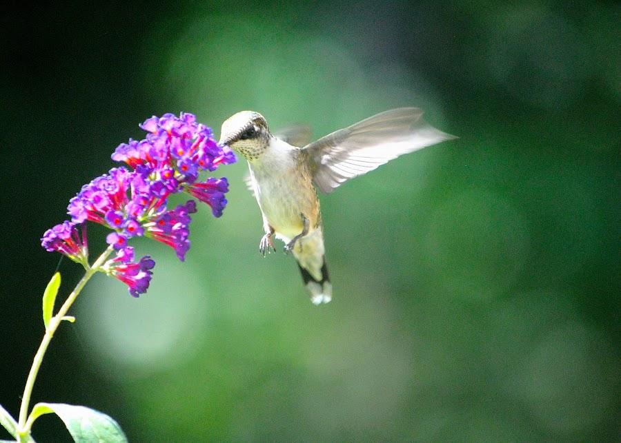Pretty lil bird.. by Janet Ticknor - Animals Birds ( butterfly bush, hummingbird, nectar, birds )