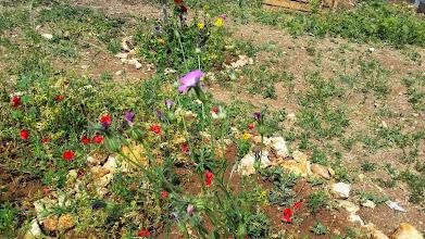 Photo: פרגים ואגרוסטמת השדות