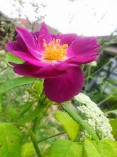 Photo: Une rose est remontée sur le seuil de l'Atelier
