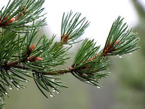 Photo: Berken en dennen, dat zijn de meest voorkomende bomen in Lapland.