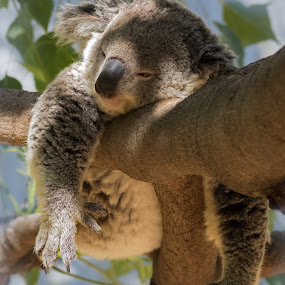 Hanging Out by David Hammond - Animals Other Mammals ( bear, hanging, resting, koala, nature, tree, animal,  )