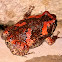 Sri Lankan bullfrog
