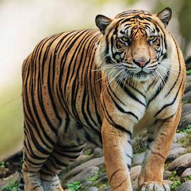 by Husada Loy - Animals Lions, Tigers & Big Cats