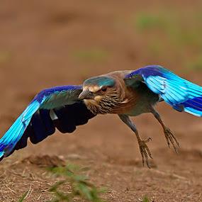 Roller by Jineesh Mallishery - Animals Birds ( jineesh )
