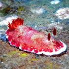 Goniobranchus tinctorius