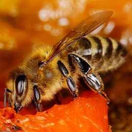 Honey bee by Marko Lengar - Animals Insects & Spiders ( bugs, meliferambee, apis, persimmon, insect, honeybee )