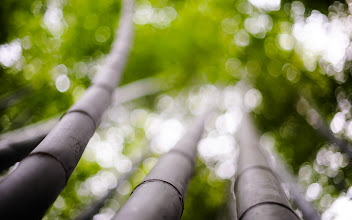 """Photo: This photo appeared in an article on my blog on Jun 12, 2013. この写真は6月12日ブログの記事に載りました。 """"Experimenting with Depth of Field: Interactive Scene of Towering Bamboo"""" http://regex.info/blog/2013-06-12/2269"""