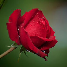 My Rose in the morning by Alim Sumarno - Nature Up Close Flowers - 2011-2013 ( rose, flower )