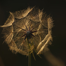 dandy clock  by Tracy Morris - Nature Up Close Other plants