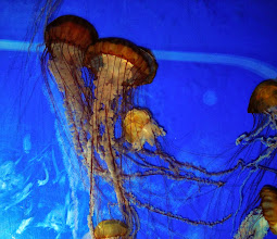 Photo: Pacific Sea Nettles, Oregon Coast Aquarium, Newport