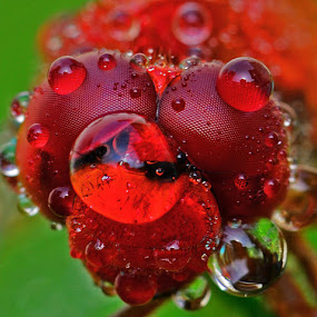 Red Dragon by Woe Hendrik husin - Animals Insects & Spiders