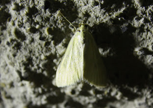 Photo: Sitochroa palealis  Lepidoptera > Crambidae