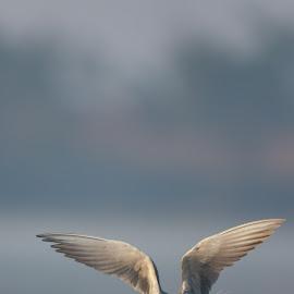 tern by Saumitra Shukla - Animals Birds ( beauty, nature, bird, animal, tern, river, birds, travel, wild, wildlife,  )