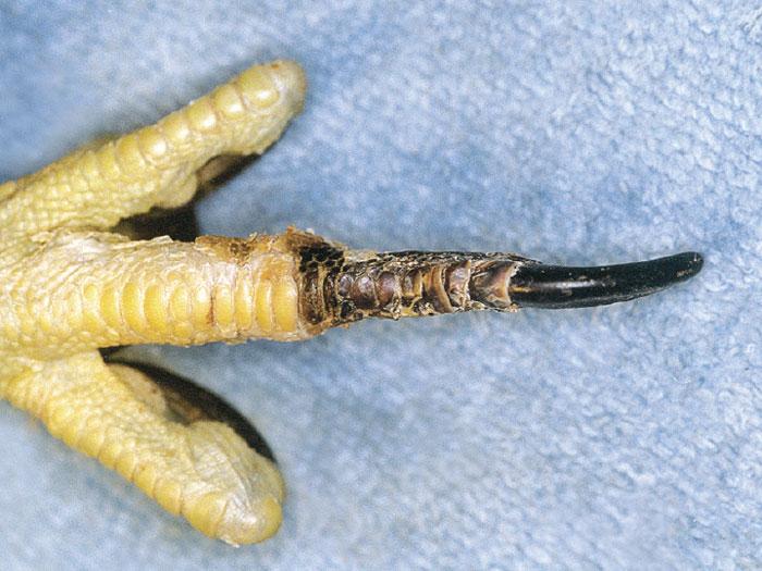 Distal necrosis is a poorly understood condition in raptors