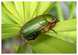 Photo: Emerald Beetle  This beautiful green beetle was spotted in our front yard in Omkoi, Thailand. Camera on macro.