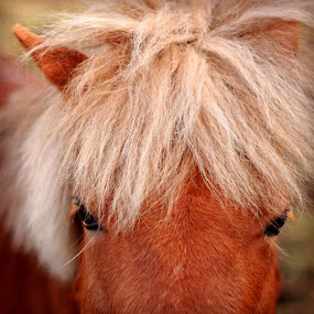 Looking at me by Annie Japaud - Animals Horses ( animals, red, horse,  )