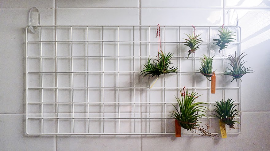 The Owner Told Me That Some Rare Air Plants Sold In Other Nurseries Can Cost Up To 1 000 Wow I Guess Sky Is Really Limit