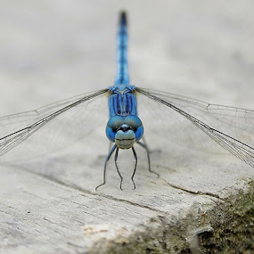 :: Blue Dragonfly :: by Agunk Setiajaty - Animals Insects & Spiders