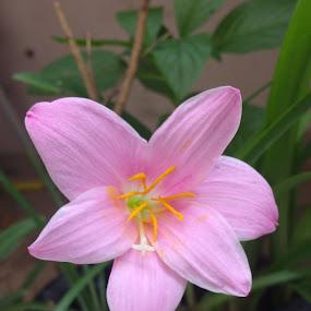 by Vahini Deva N - Flowers Single Flower