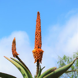 A blooming cactus by Svetlana Saenkova - Nature Up Close Other plants ( orange flower, blue sky, cactus flower, cactus, tropical plants )